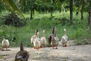 ducks-4230463_1920